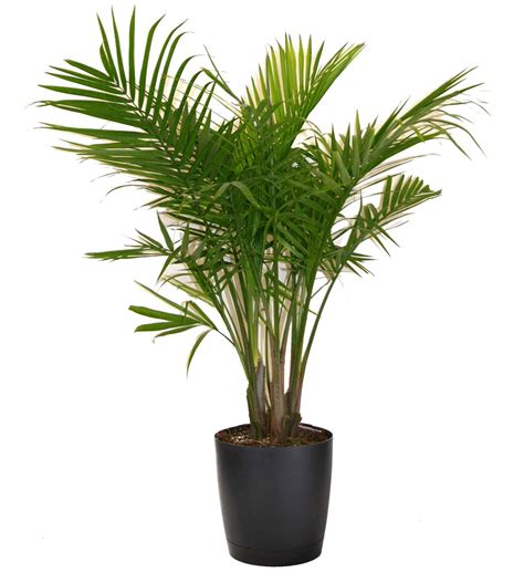 indoor palm most popular houseplants costa farms
