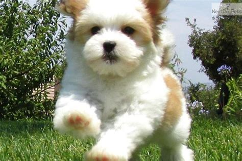 havanese adopt pin havanese puppies adoption image search results on