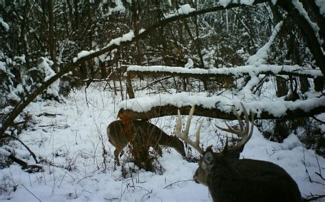 how to find deer bedding areas doe and buck bedding areas small parcel habitat