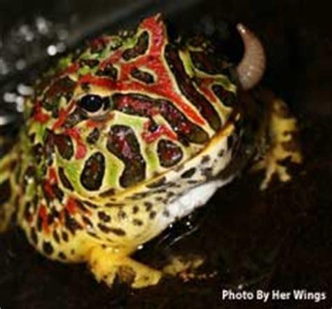 horned frog care sheet the amphibian.co.uk. ornate