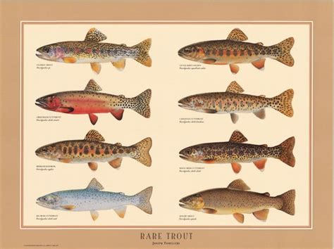 printable fish poster free trout illustrations rare trout poster fish