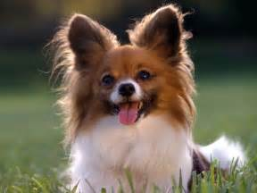 Small House Dogs Papillon All Small Dogs Wallpaper 14496058 Fanpop
