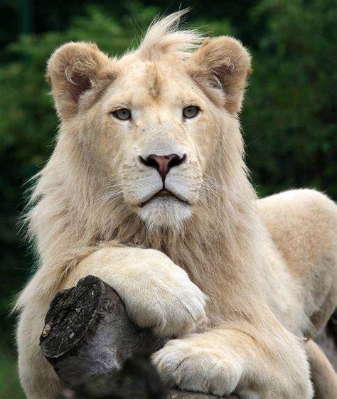 imagenes de leones a blanco y negro imagen leon blanco png wiki reino animalia fandom