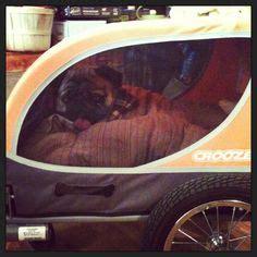 pug buggy owned by pug on pugs pug and pug dogs