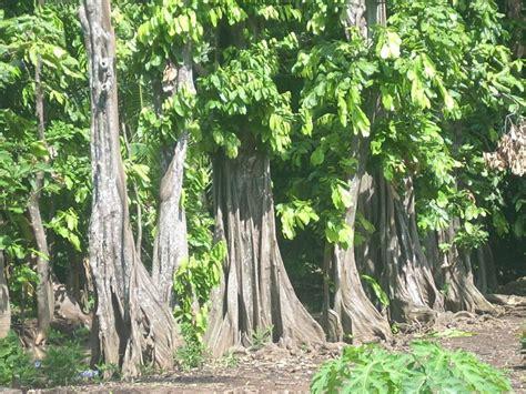 mitos keangkeran pohon gayam sebagai tempat tinggal