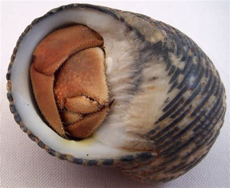 how to properly measure a sea shell for your hermit crab