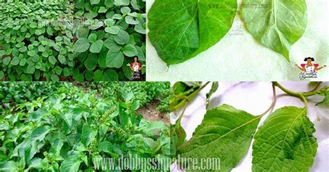 nigerian indigenous herbs welcome to baboa blog indigenous leafy vegetables and