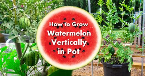 Growing Watermelon in Containers   How to Grow Watermelon