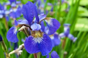 Amaryllis Flower Meaning - iris flower photo art print purple 4 typesofflower com