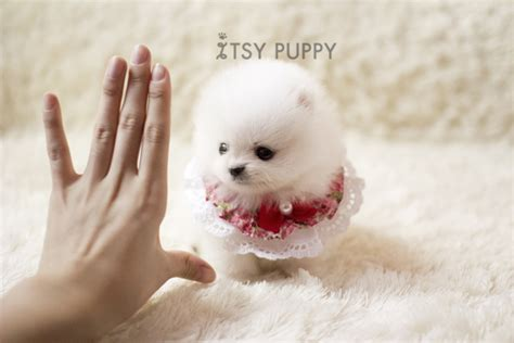 pomeranian adults size sold jazz micro pomeranian itsy puppy teacup microteacup puppies for