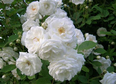 galeri gambar bunga mawar  cantik  indah  jenis