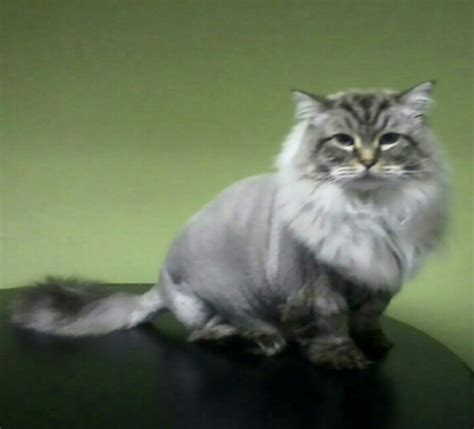 Lions cut fat cat ragdoll
