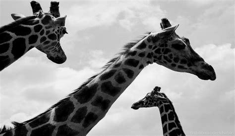 philadelphia zoo lights black white photography dianesportfolio