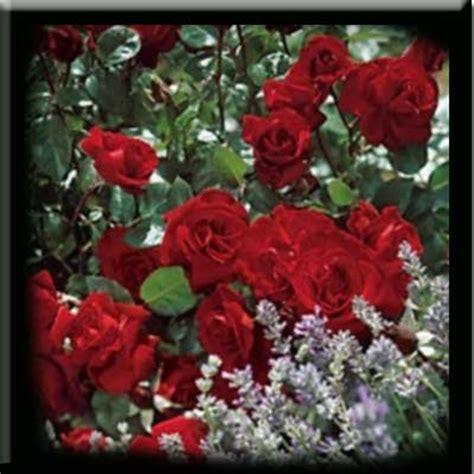 bunga mawar  mencegah penyakit bunga semak