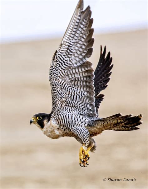 40 best images about falcons nest on pinterest atlanta falcons football wall and blog 49 best images about flying high on pinterest peregrine