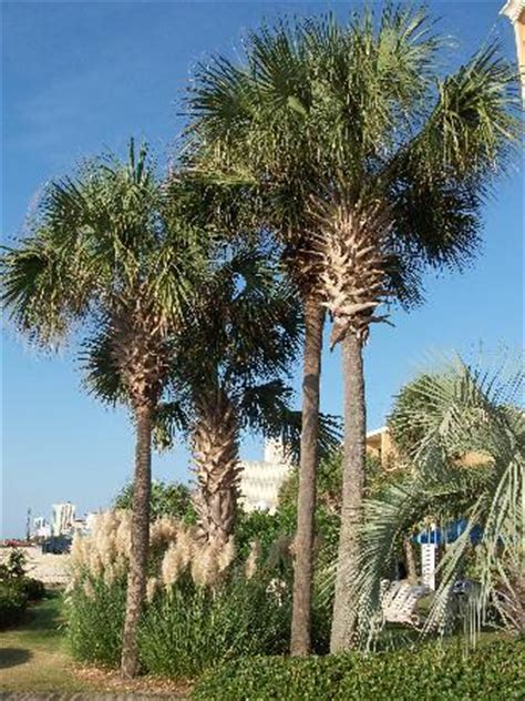 myrtle beach christmas tree farm palm trees on the property picture of inn at the pavilion myrtle tripadvisor