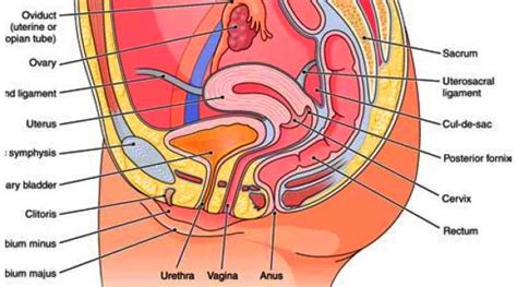female pelvis sagittal section female sex organs