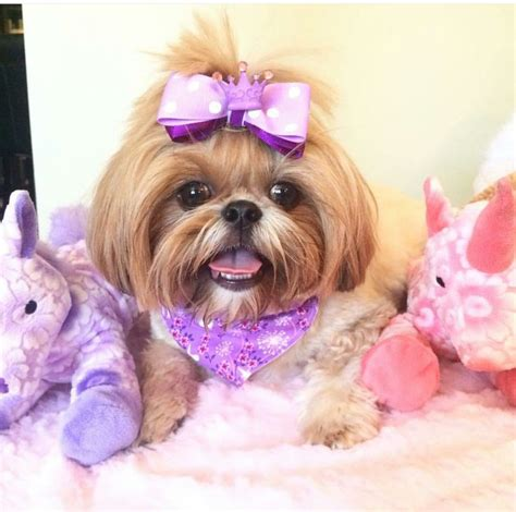 dogs that look like yorkies what does a yorkie shih tzu look like breeds picture