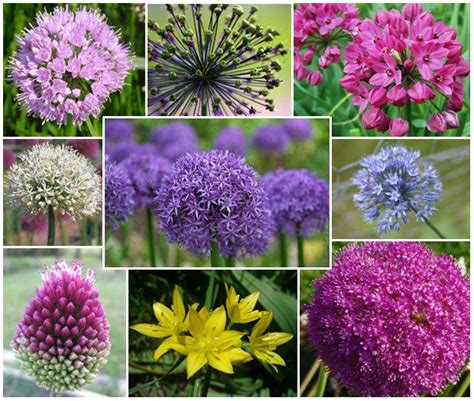 1000 ideas about allium flowers on pinterest allium