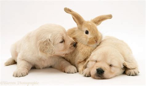 bunnies and puppies puppies bunnies wp10573 baby lop rabbit with
