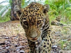 Jaguar Species Pictures Jaguars Spotted On Plantation A