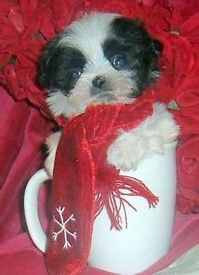do pomeranian shih tzu mix shed 125 best images about shihtzu fur babies on happy mothers day small