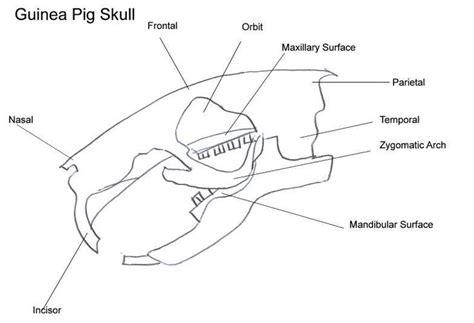 guinea pig diagram guinea pig skull guinea pig care guinea