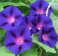 Biji Benih Morning Ott 10 Biji 1 bibit bunga benih morning ott lazada indonesia