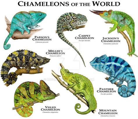 veiled chameleon colors veiled chameleon color chart www pixshark images