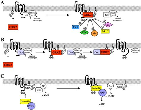 g protein receptor kinase regulation of g protein coupled receptor kinases and