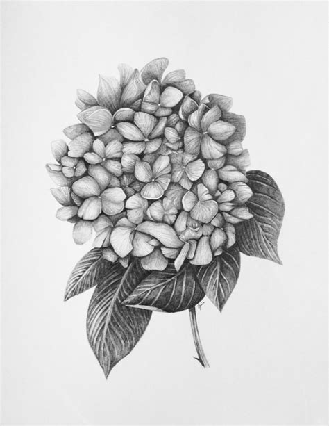 drawing hydrangea flower 17 images about flower tattoo