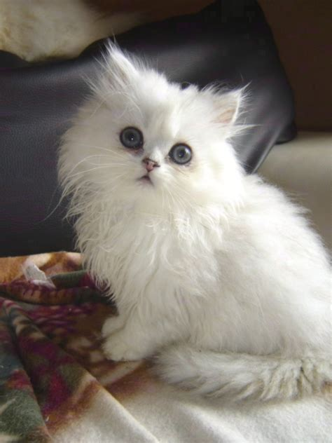 persiani chinchilla persan chinchilla blanc mon regard sur le voyage et la