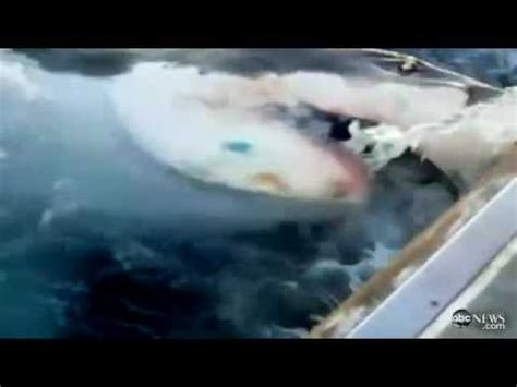 fishing boat attacked by shark megalodon great white shark attacks australian fishing boat youtube
