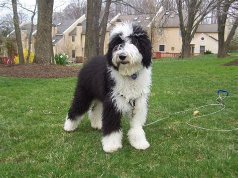 sheep doodle sheepadoodle sheepdog poodle mix info miniature puppies pictures