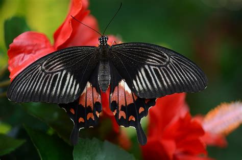 red and black butterflies free photo butterfly black red white free image on