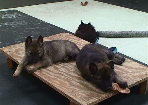k9 puppies for sale german shepherd puppies for sale k9 1