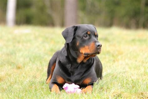 rottweiler breed traits rottweiler temperament personality traits canna pet 174