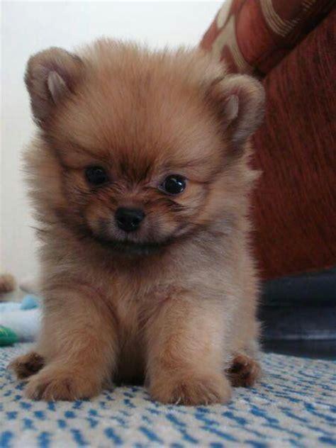 pomeranian teddy puppy pomeranian puppy teddy animals