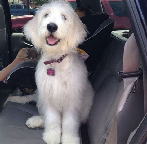 goldendoodle puppy hair goldendoodle hair breeds picture