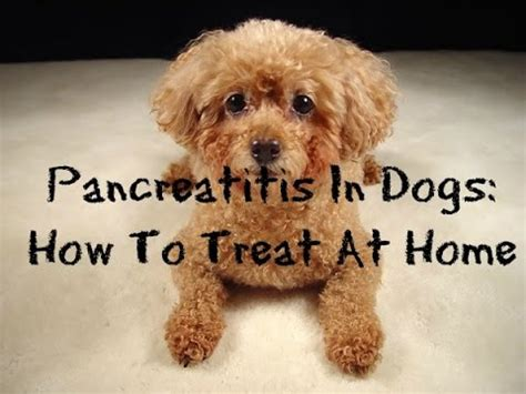 how to treat pancreatitis in dogs pancreatitis pancreatitis in dogs funnycat tv