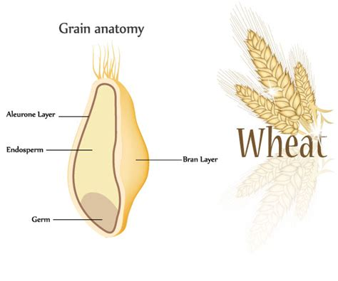 whole grain kernel whole grains mondelēz nutrition science