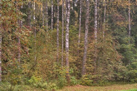 birch tree rubber st photo 2171 11 birch trees near zelionoy zhenshchiny alley