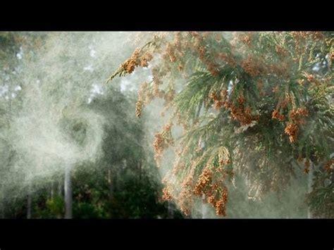 スギ花粉の飛散 cedar pollen dispersal ( shot on red epic high