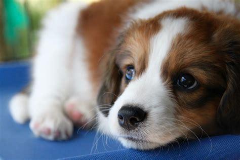 kooikerhondje puppies for sale kooikerhondje puppy photos kooikerhondje puppy pictures kooikerhondje breeds picture