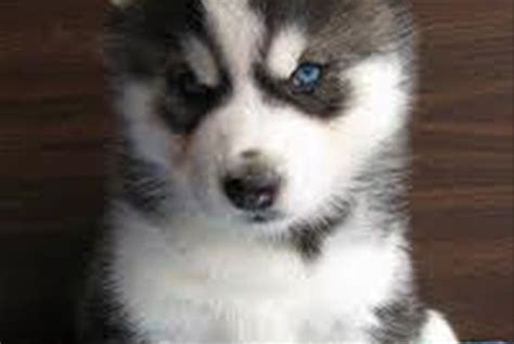 husky puppies for sale ny siberian husky puppies for sale in westchester new york