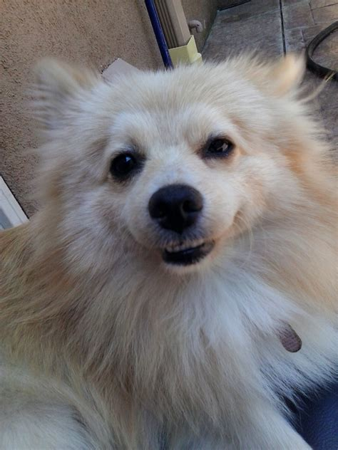 pomeranian near me pomeranian rescue and adoption adopt a pomeranian near you breeds picture