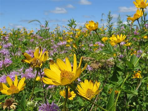 flowering prairie plants books image gallery prairie flowers