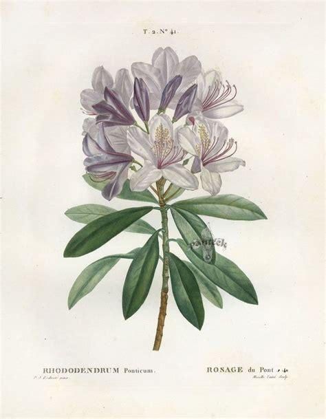 redoute botanical print botanical prints pinterest