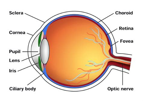 cross section eye inge s mild myopia the questionable value of a 2 00