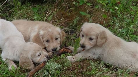 golden cocker retriever uk golden retriever x cocker spaniel pups kingsbridge pets4homes